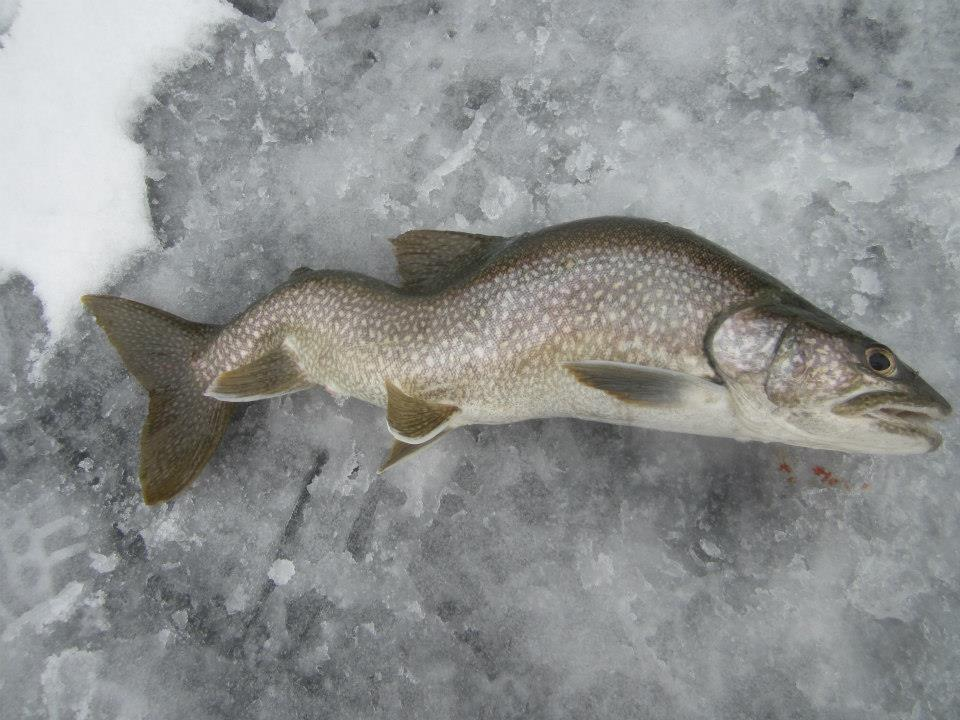 Lake george ice fishing guides and reports for Lake trout ice fishing lures